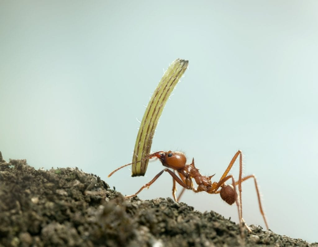 Leaf-cutter ant, Acromyrmex octospinosus, carrying plant in front of blue background